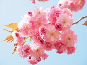 cherry-blossom-1260641_960_720